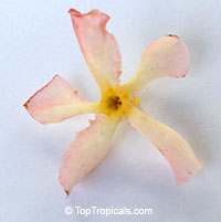 Trachelospermum asiaticum, Asian Jasmine, Yellow star jasmine  Click to see full-size image
