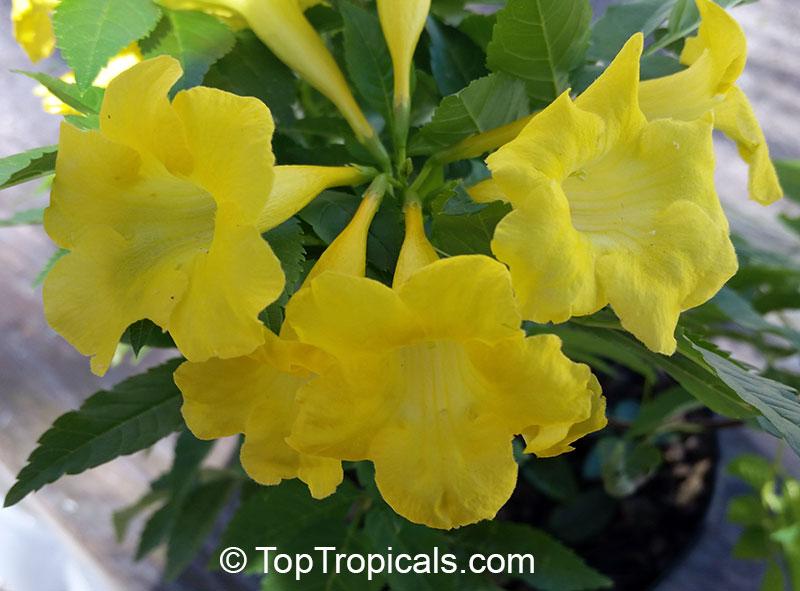 Tecoma hybrid lydia tecoma lydia yellow bells yellow elder tecoma hybrid lydia tecoma lydia yellow bells yellow elder click to see full mightylinksfo