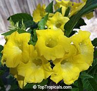 Tecoma hybrid Lydia, Tecoma Lydia, Yellow Bells, Yellow Elder  Click to see full-size image