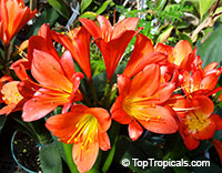 Clivia miniata, Bush Lily, Boslelie  Click to see full-size image