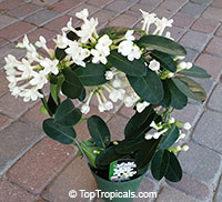 Stephanotis floribunda - Bridal Bouquet, 1 gal pot  Click to see full-size image