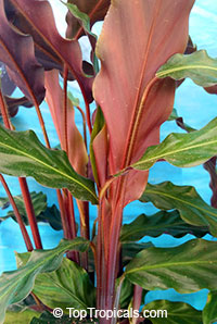 Calathea rufibarba, Velvet Calathea, Fuzzy Pheasant Feather, Furry Feather  Click to see full-size image
