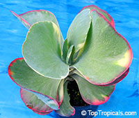 Kalanchoe thyrsiflora - seeds  Click to see full-size image