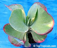 Kalanchoe tetraphylla, Kalanchoe thyrsiflora, Paddle Leaf, Flapjacks, Desert Cabbage  Click to see full-size image