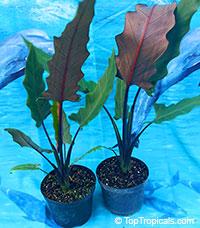 Alocasia sp., Alocasia, Taro  Click to see full-size image