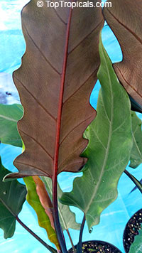 Alocasia lauterbachiana Purple SwordClick to see full-size image