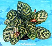 Calathea makoyana, Maranta makoyana, Peacock plant  Click to see full-size image