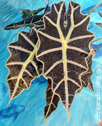 Alocasia sanderiana, Alocasia amazonica, Kris plant  Click to see full-size image