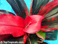 Cordyline fruticosa Ruby - Hawaiian Ti Leaf  Click to see full-size image