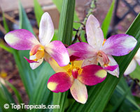 Spathoglottis Berry Banana - Ground Orchid