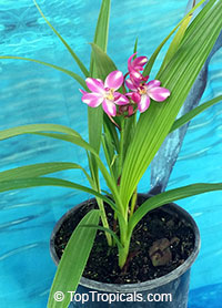 Spathoglottis plicata, Ground Orchid, Garden Orchid  Click to see full-size image