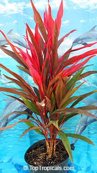 Cordyline fruticosa Pink Pepper - Hawaiian Ti Leaf