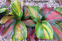 Cordyline fruticosa, Cordyline terminalis, Hawaiian Ti LeafClick to see full-size image