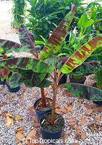 Musa sumatrana, Musa acuminata ssp. zebrina, Blood Leaf Banana  Click to see full-size image