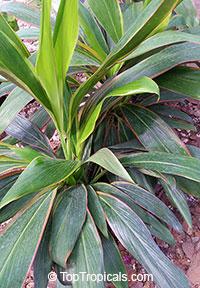 Cordyline fruticosa Shubertii - Hawaiian Ti Leaf  Click to see full-size image