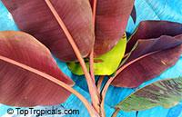 Musa sumatrana Zebrina Rojo - Blood Leaf Banana  Click to see full-size image