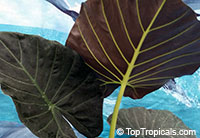 Alocasia Regal Shields  Click to see full-size image