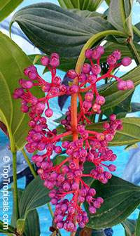 Medinilla cumingii (myriantha) - Malaysian Orchid  Click to see full-size image