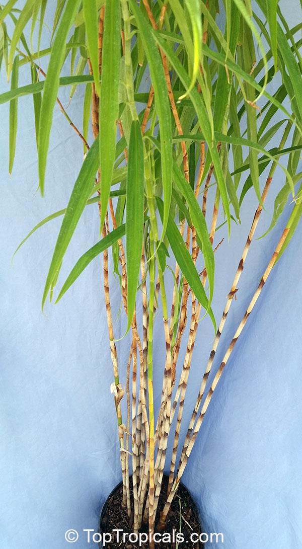 Costus Stenophyllus Bamboo Costus Toptropicals Com