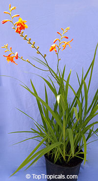 Crocosmia sp., Coppertips, Falling Stars, Montbretia  Click to see full-size image