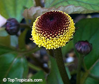 Acmella oleracea - seeds  Click to see full-size image