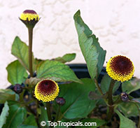 Acmella oleracea - Toothache Plant, Botox Plant