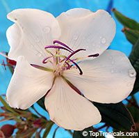 Tibouchina Peace Baby (Pure White) - pickup only  Click to see full-size image