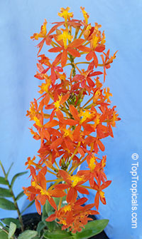 Epidendrum radicans - Orange Reed Ground Orchid, Sunrise   Click to see full-size image