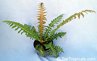 Blechnum moorei, Brazilian Tree Fern