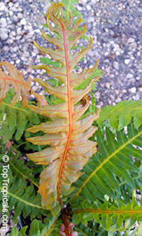 Blechnum moorei, Brazilian Tree Fern  Click to see full-size image
