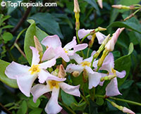 Trachelospermum asiaticum Pink Showers - Pink Confederate Jasmine