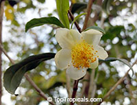 Camellia sinensis - Tea (small leaf)