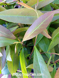 Ilex paraguariensis, Yerba Mate  Click to see full-size image