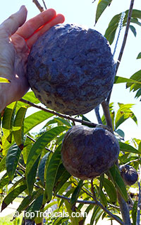 Annona reticulata - Red Custard Apple var. Tobago Pink  Click to see full-size image