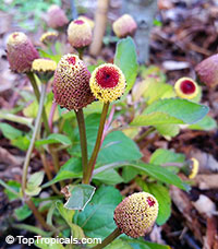 Acmella oleracea, Spilanthes oleracea, Toothache Plant, Paracress, Botox Plant, Jambu  Click to see full-size image