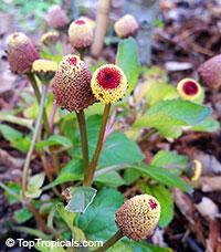 Acmella oleracea, Spilanthes oleracea, Toothache Plant, Paracress, Botox Plant, JambuClick to see full-size image