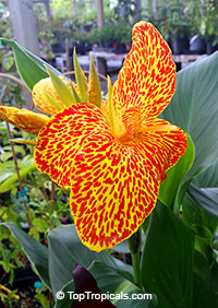 Canna Maui Punch