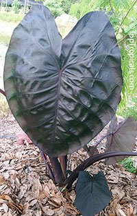 Colocasia esculenta Diamond Head  Click to see full-size image