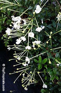 Brunfelsia americana - Lady of the night, 3 gal