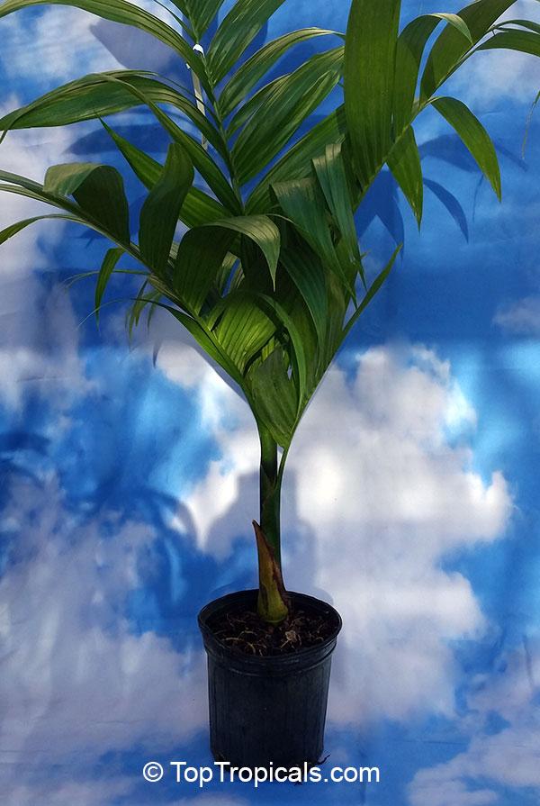 Areca catechu, Areca triandra, Areca Palm, Betel Nut , Bunga