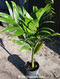 Areca catechu, Areca triandra, Areca Palm, Betel Nut , Bunga, PinangClick to see full-size image