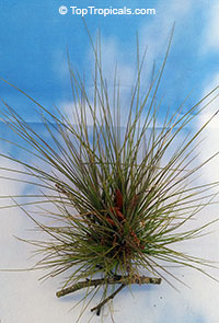 Tillandsia sp. - Airplant