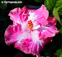 Hibiscus rosa-sinensis, Hibiscus, Chinese Rose, Japanese Rose, Tropical Hibiscus, Shoe Flower  Click to see full-size image