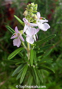 Rosmarinus officinalis - Rosemary  Click to see full-size image
