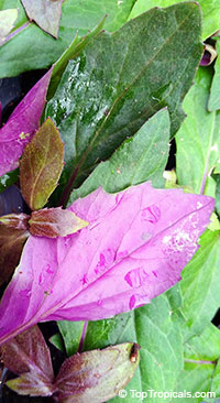 Gynura crepioides, Okinawa Spinach, Purple Spinach  Click to see full-size image