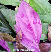 Gynura crepioides - Okinawa Spinach (Purple)  Click to see full-size image