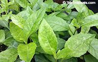 Gynura procubens, Alakaline Herb, Sambung Nyawa, Longevity SpinachClick to see full-size image