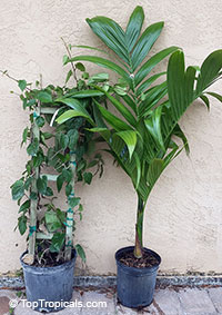 Areca and Piper - Betel collection 