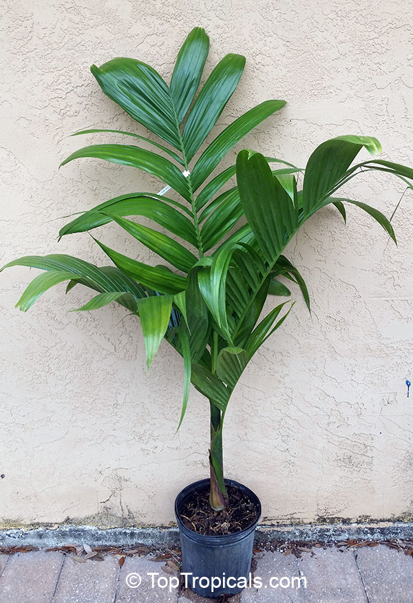 Rare plants for home and garden for Areca palm safe for cats