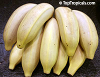 Musa - Banana Dwarf Brazilian (Santa Catarina Silver)  Click to see full-size image